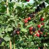 Mur fara tepi si alti arbusti fructiferi de un an si de 2 ani :zmeur, coacaz, agris. oferta Material saditor