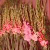 vand bulbi de gladiole Prscilla oferta Flori si plante ornamentale