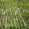 Buxus  sempevirens   ,  (cimisir sau merisor) ieftin pentru  gard   viu  , bordura  sau   solitari oferta Flori si plante ornamentale