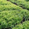 Vand  rasad  de  plante  ornamentale  pentru pepiniera.(buxus , tuia , ligustrum  ovalifolium ,    ligustrum ,  hibiscus oferta Flori si plante ornamentale