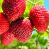Stoloni capsuni - 20 bani / buc - fructe mari si dulci oferta Material saditor