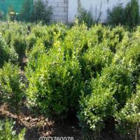 Buxus oferta Flori si plante ornamentale