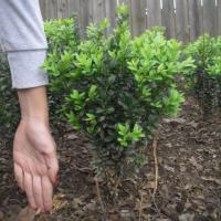 Buxus - arbust ornamental pentru decorarea gradinii, perfect si pentru gard viu oferta Flori si plante ornamentale