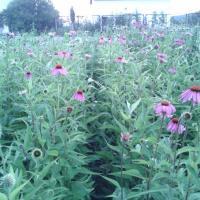 Echinacea Poza