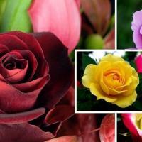 Vand pomi fructiferi, arbusti fructiferi, vita de vie, trandafiri oferta Pepiniere