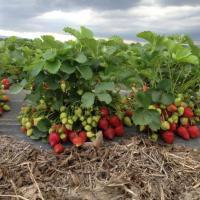 Plante Stoloni de capsuni soiul cavalier si alberta oferta Material saditor
