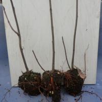 Aronia ( Scorus ) plante profesionale, virus free oferta Material saditor