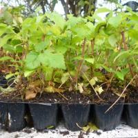Plante Zmeur profesionale, virus free oferta Material saditor