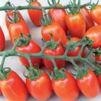 Rasaduri profesionale cele mai dulci tomate oferta Material saditor