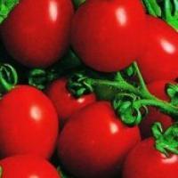 Rasaduri profesionale tomate conservare iarna oferta Material saditor