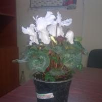 cyclamen oferta Flori si plante ornamentale