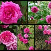 Trandafiri de dulceata  oferta Material saditor