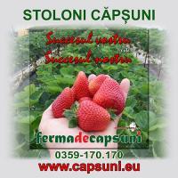 Stoloni capsuni infiintari plantatii de capsuni oferta Material saditor