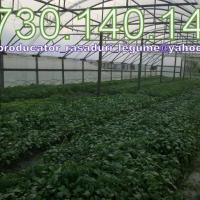 Vand rasaduri legume 0,60 bani/fir 2015 oferta Legume