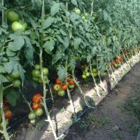 Vand rasaduri legume 0,60 bani/fir 2015 oferta Seminte