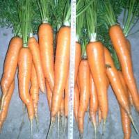 Vând morcov  oferta Legume