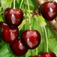Pomi fructiferi de vanzare!!! oferta Pepiniere