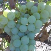 Struguri pentru vin IG oferta Vita de vie
