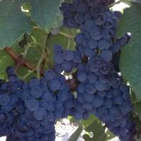 Vand struguri de vin productie proprie oferta Vita de vie