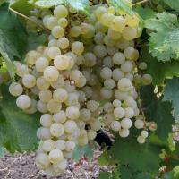 Vând struguri de vin FETEASCA regala oferta Vita de vie