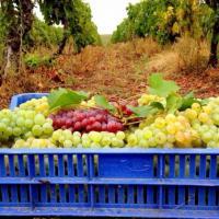 Vand struguri de Vin oferta Vita de vie
