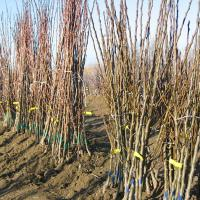 producem pomi fructiferi oferta Pepiniere