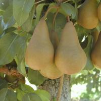 Pomi fructiferi Poza