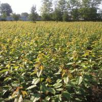 vindem pomi fructiferi in cantitati mari-negociabil oferta Pepiniere