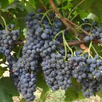 Vand vin rosu din struguri Merlot oferta Vita de vie