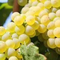 Vand vin alb din struguri Feteasca alba si Tamaioasa romaneasca oferta Vita de vie