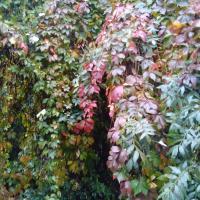 vita salbatica oferta Flori si plante ornamentale