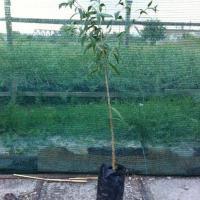 Plante Goji de calitate, certificate din pepiniera autorizata Poza