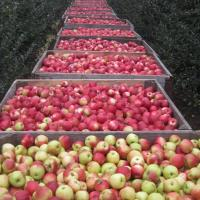 Vand MERE ENGROS oferta Fructe