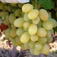 Struguri Italia parfumati oferta Fructe
