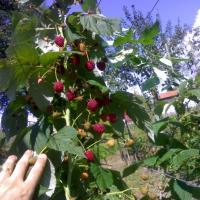 Zmeura drajoni ( puieti ) vand 5000 buc., soi Cayuga  oferta Fructe