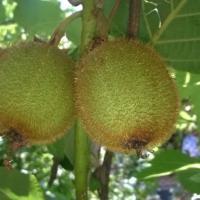 Pepiniera producem pomi fructiferi, arbori, arbuști fructiferi, plante ornamentale, flori oferta Pepiniere