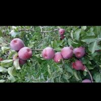 vand mere Idared si Florina .cantitate 30 tone oferta Fructe