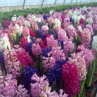 zambile ghiveci 4 lei oferta Flori si plante ornamentale