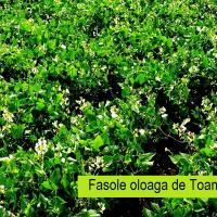 'Fasole Alba de la Buna' Fasole Alba taraneasca-Cultura de Camp oferta Seminte