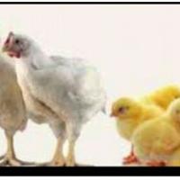 Vând pui de găină o zi  oferta Agricultura ecologica