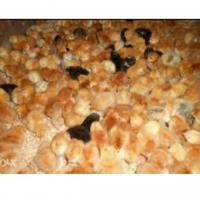 Vând pui de găină o zi  Poza