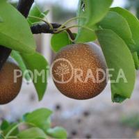Pomi Fructiferi în Oradea - Pepiniera PomiOradea oferta Pepiniere