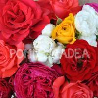 Butași de Trandafiri în Oradea - Pepiniera PomiOradea oferta Flori si plante ornamentale