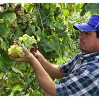 Vin alb sau rosu natural (Stare Foarte Bună) oferta Vita de vie