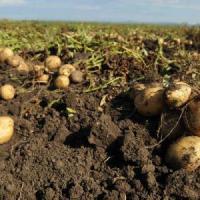 vand cartofi noi morcov si verdeata pe viitor patrunjel de radacina pastarnac ceapa galbena si kava ceapa de apa oferta Legume