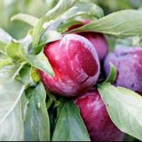 Vand prune soi Diana oferta Fructe