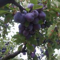 Vand prune oferta Fructe