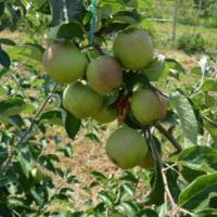 Mere Consum / Clasa I / oferta Fructe