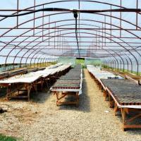 Pepiniera Primavera vinde din productie proprie plante de lavanda (True) oferta Pepiniere