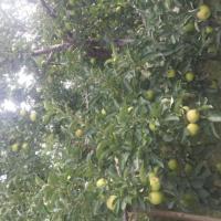 Vand mere de industrie oferta Fructe